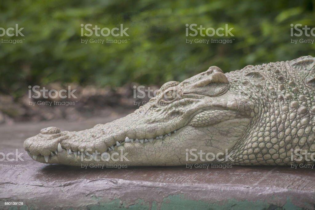 Albino Crocodile head – zdjęcie