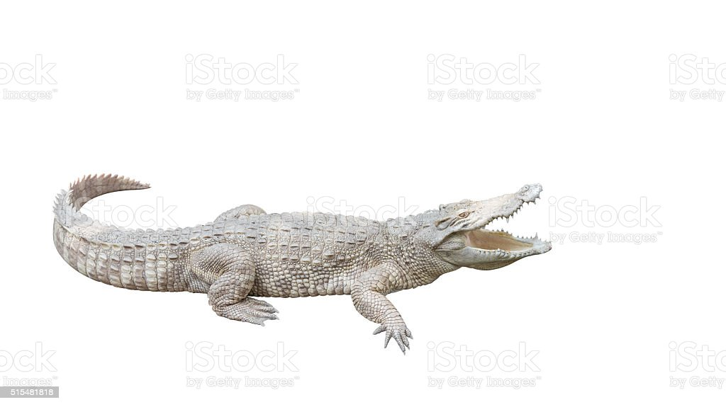 Albino Crocodile isolated on white background, Clipping Path stock photo