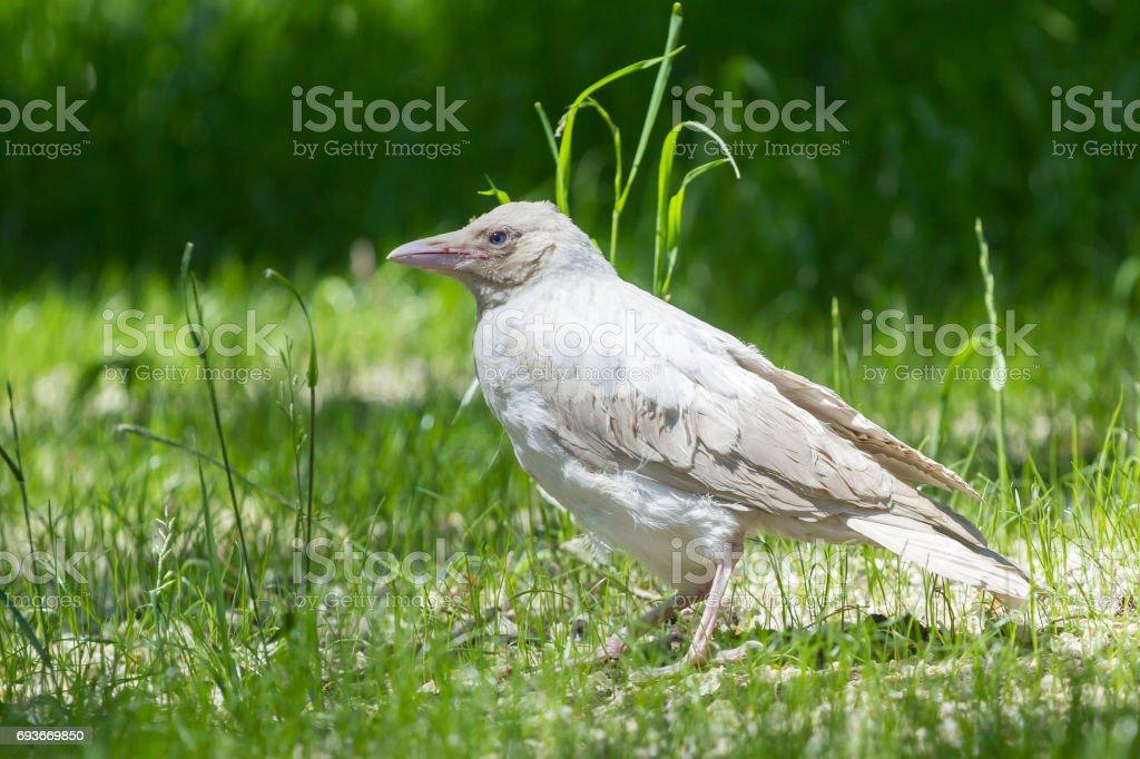 Albino crow on thegrass stock photo