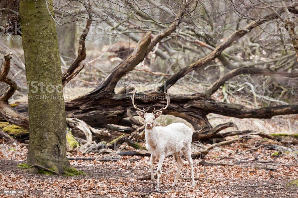 Albino fallow deer royalty-free stock photo
