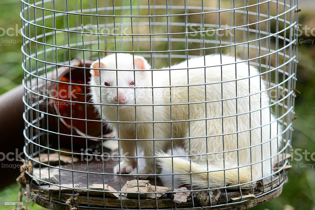 Albino Ferret in Cage stock photo