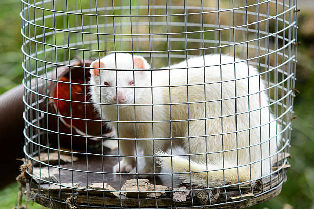 albino ferret in cage - animals in captivity stock pictures, royalty-free photos & images