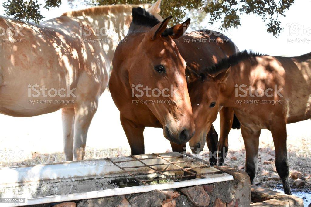 Albino horse stock photo