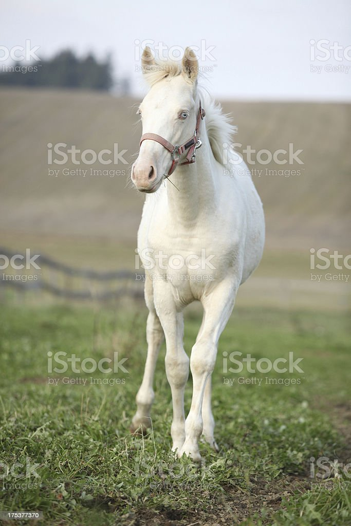 Albino horse with pink halter royalty-free stock photo