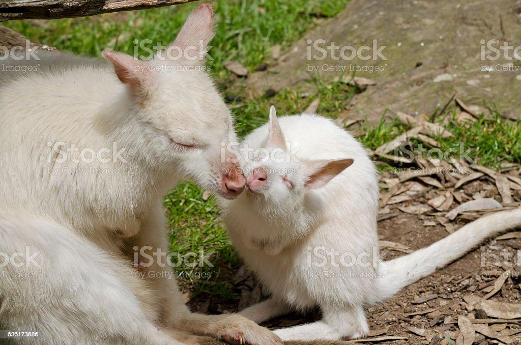 albino kangaroo stock photo