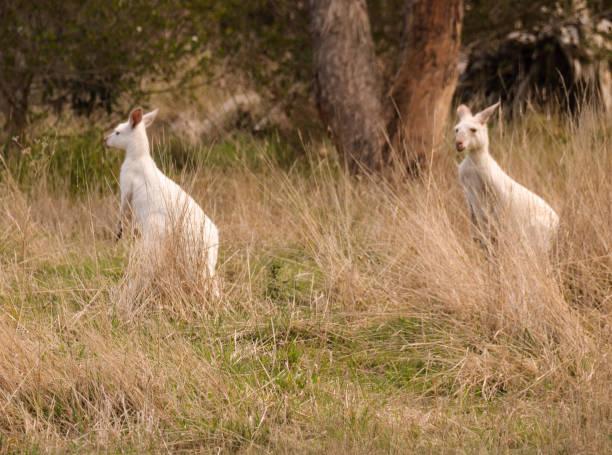 Albino Kangaroo – Foto