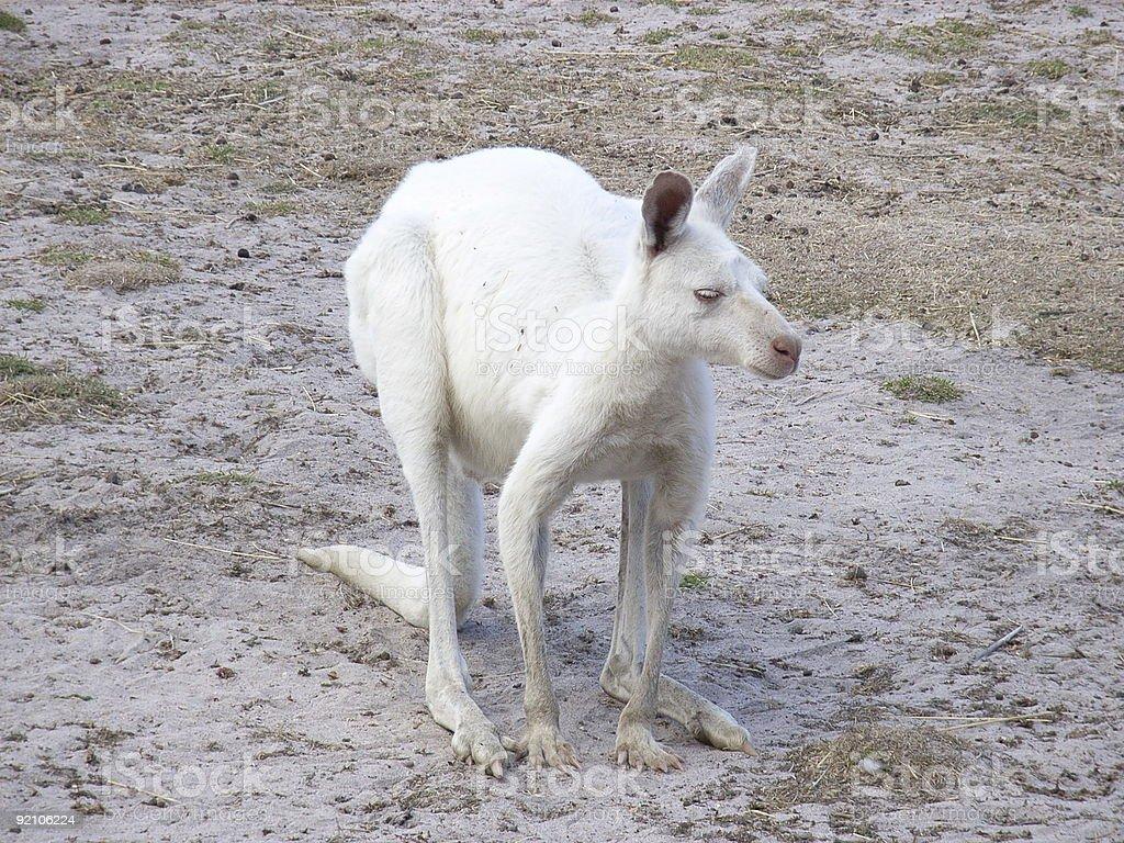 albino kangaroo royalty-free stock photo