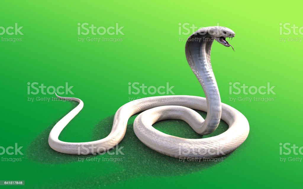 Albino king cobra snake stock photo