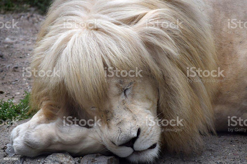 Albino Lion Sleeps Stockowe Zdjęcia I Więcej Obrazów Afryka Istock