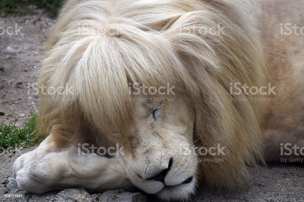 albino lion sleeps stock photo