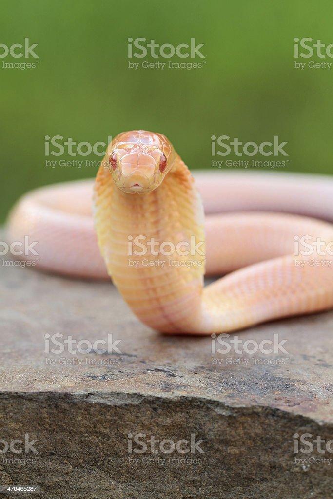 Albino Monocled Cobra royalty-free stock photo