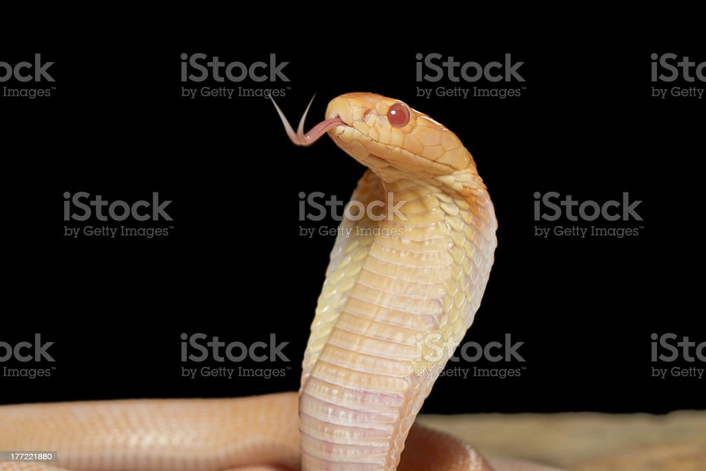 Albino Monocled Cobra with Forked Tongue! stock photo