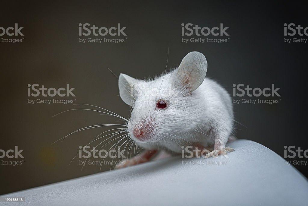 Albino mouse stock photo