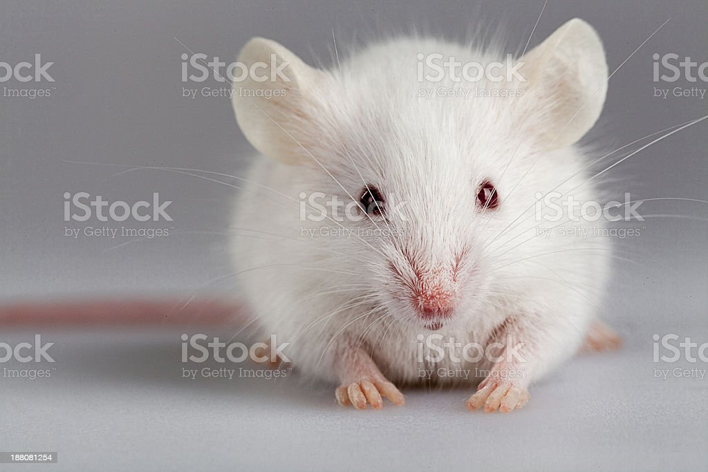 Albino mouse pose stock photo