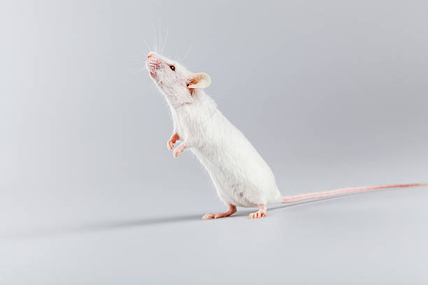 royalty free white rats pictures images and stock photos istock