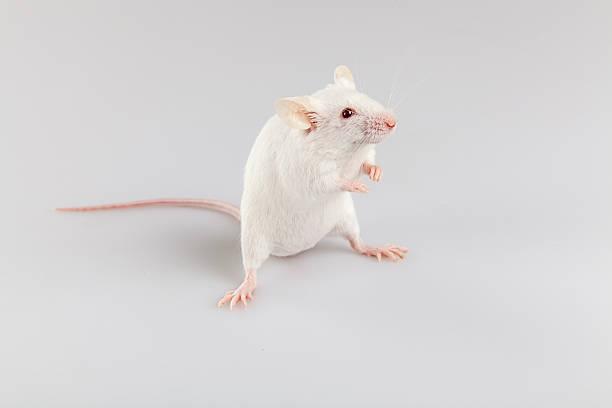 Albino mouse standing picture id188091544?b=1&k=6&m=188091544&s=612x612&w=0&h=wijbft4src5yqhr5tsmg9izjmlcuxnbftd56eikl4ks=