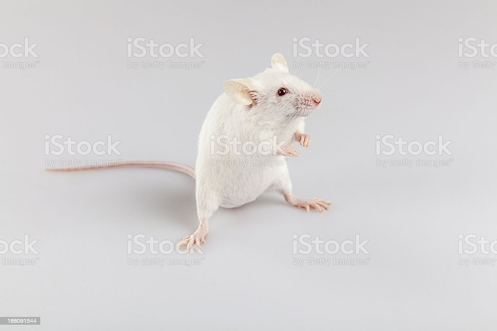Albino mouse standing stock photo