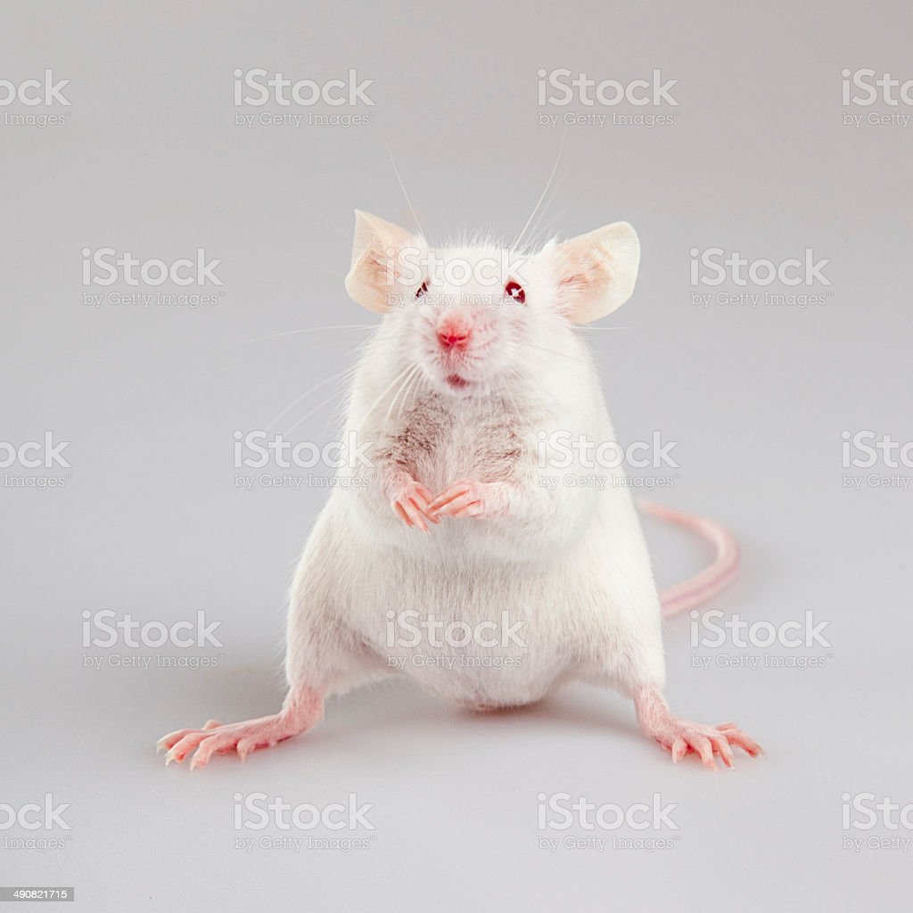Albino mouse standing stock photo