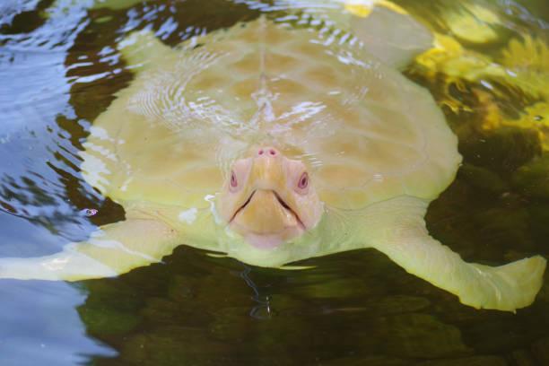 Albino of a sea turtle stock photo