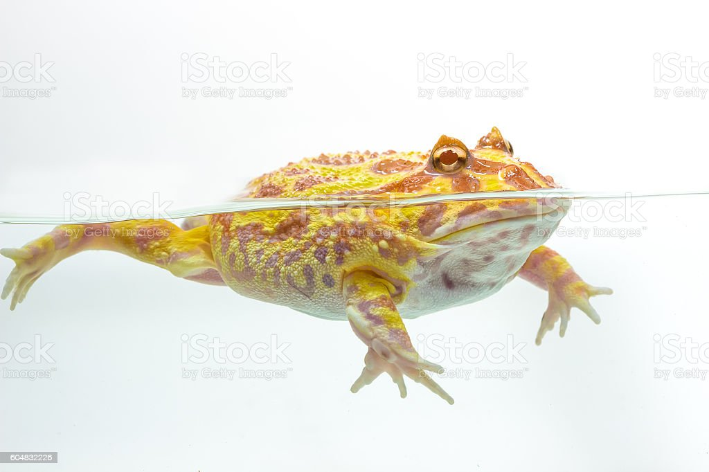 Albino Pac-Man Frog, Horned Frog (Ceratophrys ornata) stock photo