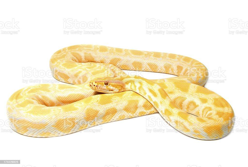 Albino python on white background stock photo