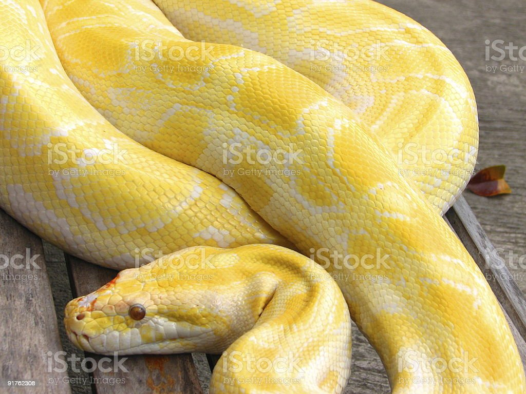Albino Python royalty-free stock photo