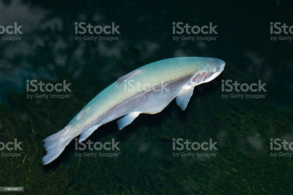 Albino Rainbow Trout royalty-free stock photo