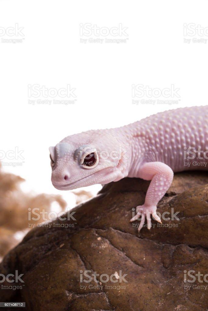 Albino Roja Ojos Fondo Blanco De Aislados De Gecko Leopardo ...