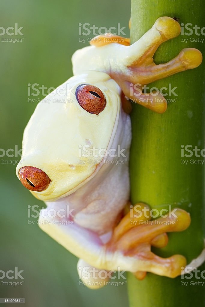 Albino Red-eyed Tree Frog stock photo