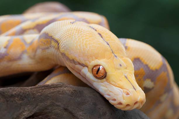 Albino Reticulated Python (Purple Phase) stock photo
