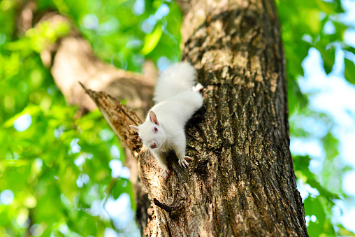 Albino Squirrel Posing in a Tree, shallow depth of field.