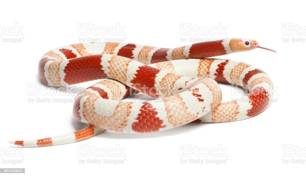 Albino Tangerine aberrant Honduran milk snake, Lampropeltis triangulum hondurensis, in front of white background stock photo