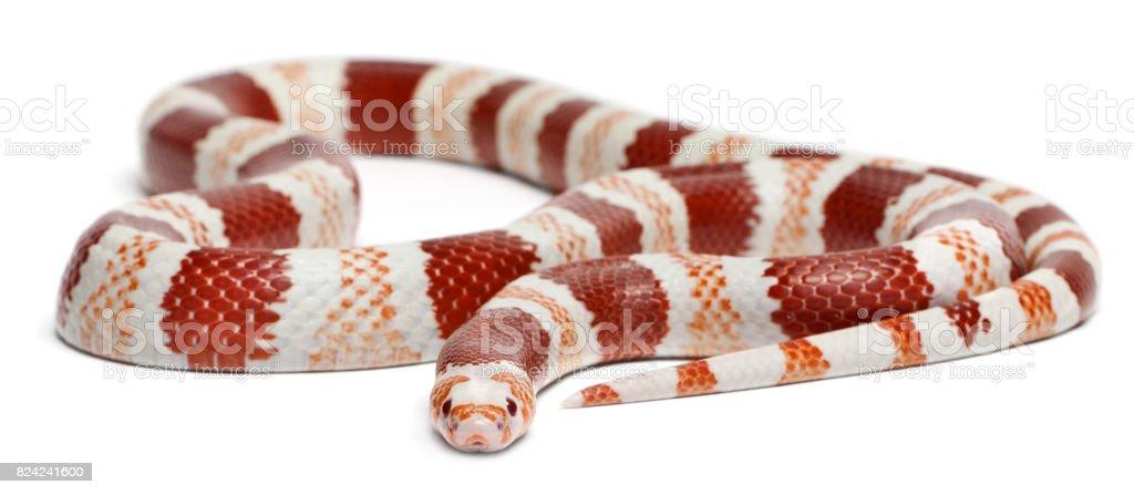 Albino Tangerine Honduran milk snake, Lampropeltis triangulum hondurensis, in front of white background stock photo