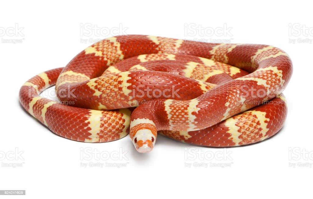 Albino Tangerine selection Honduran milk snake, Lampropeltis triangulum hondurensis, in front of white background stock photo