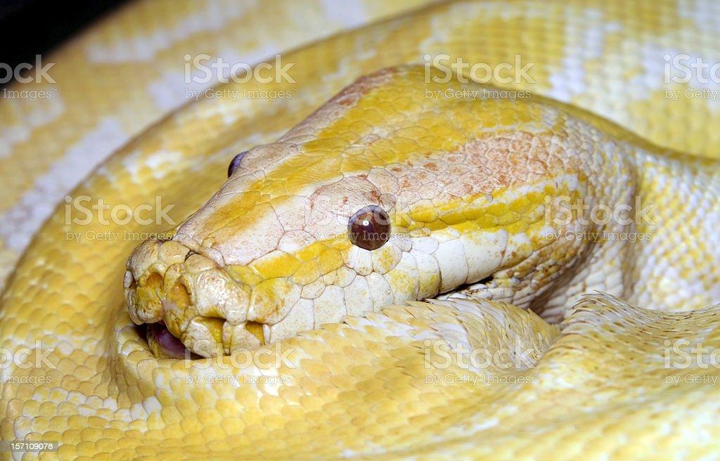 Albino Tiger python royalty-free stock photo