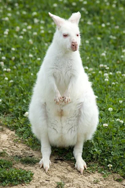 Albino Wallaby stock photo