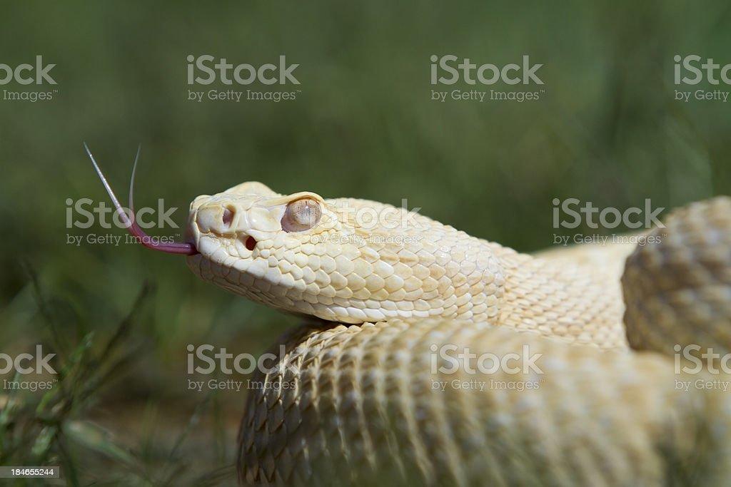 Albino Western Diamondback Rattlesnake royalty-free stock photo