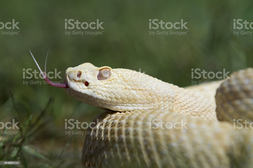 Albino Western Diamondback Rattlesnake stock photo