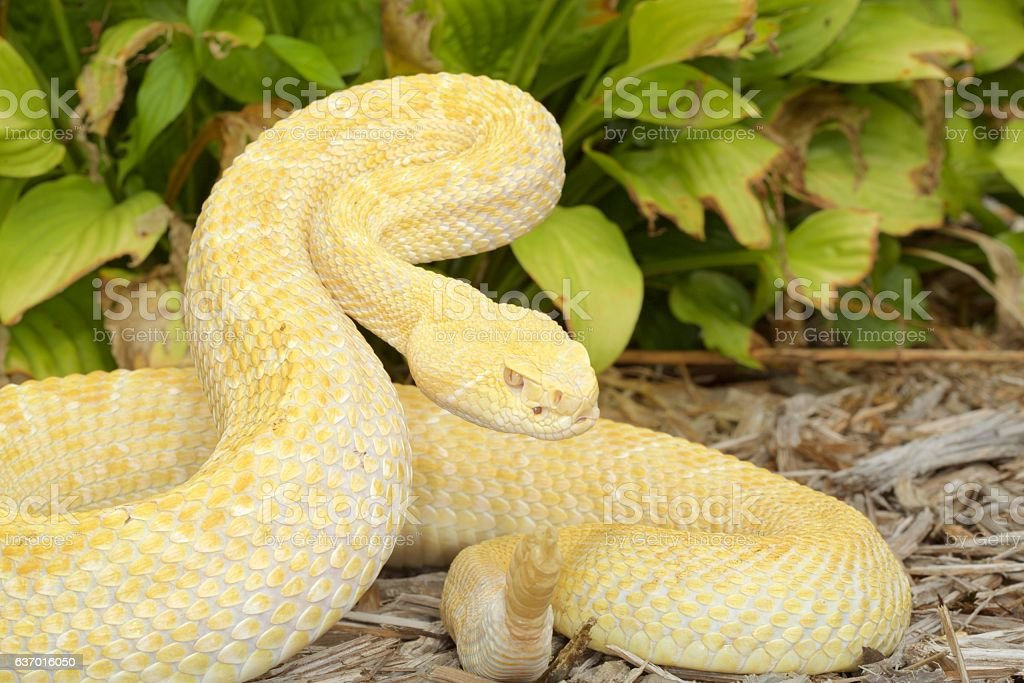 Albino Western Diamondback Rattlesnake stock photo
