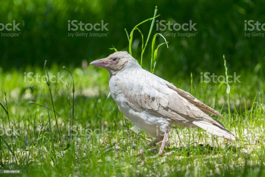 Albino white crow stock photo