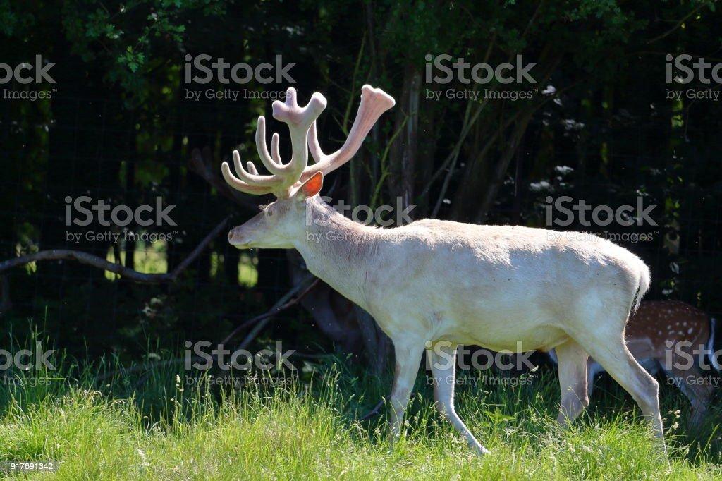 Albino white deer stock photo