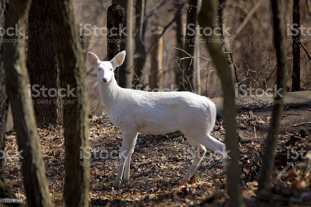 Albino Whitetail Deer stock photo