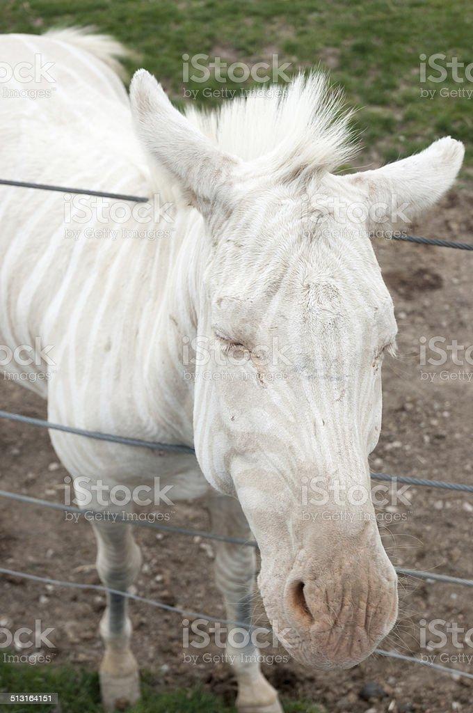 Albino zebra stock photo