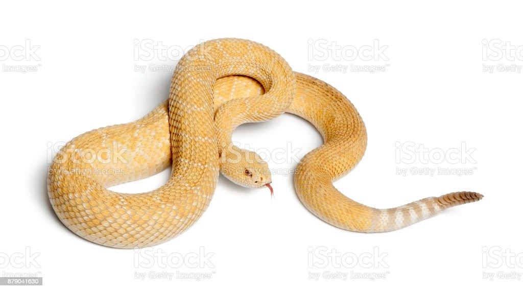 albinos western diamondback rattlesnake - Crotalus atrox, poisonous, white background stock photo