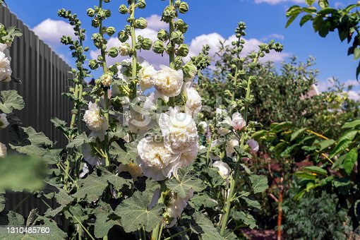 istock Alcea Rosea, a double form in white. Also comonly known as Hollyhock or Malva. 1310485760