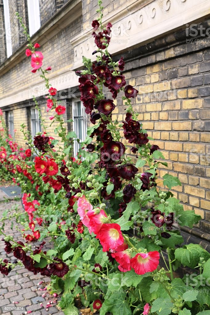 Alcea rosea blooming in street of Copenhagen, Denmark Scandinavia stock photo