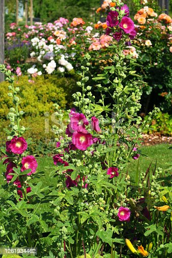 Hollyhock bush in a very beautiful flower and rose garden.