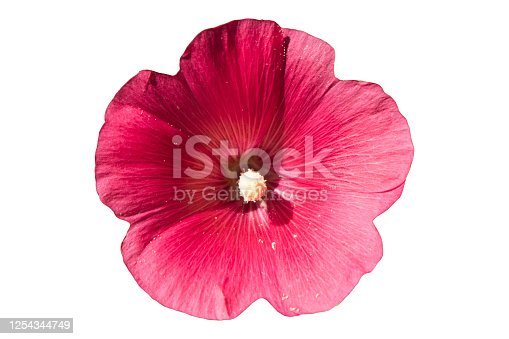 Alcea rosea hollyhock one pink flower isolated on white.