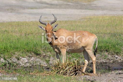 Alcelaphus buselaphus cokii.Serengeti NP.