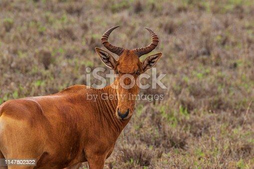 Portrait of the animal in natural environment in Tasvo East National Park, Kenya.